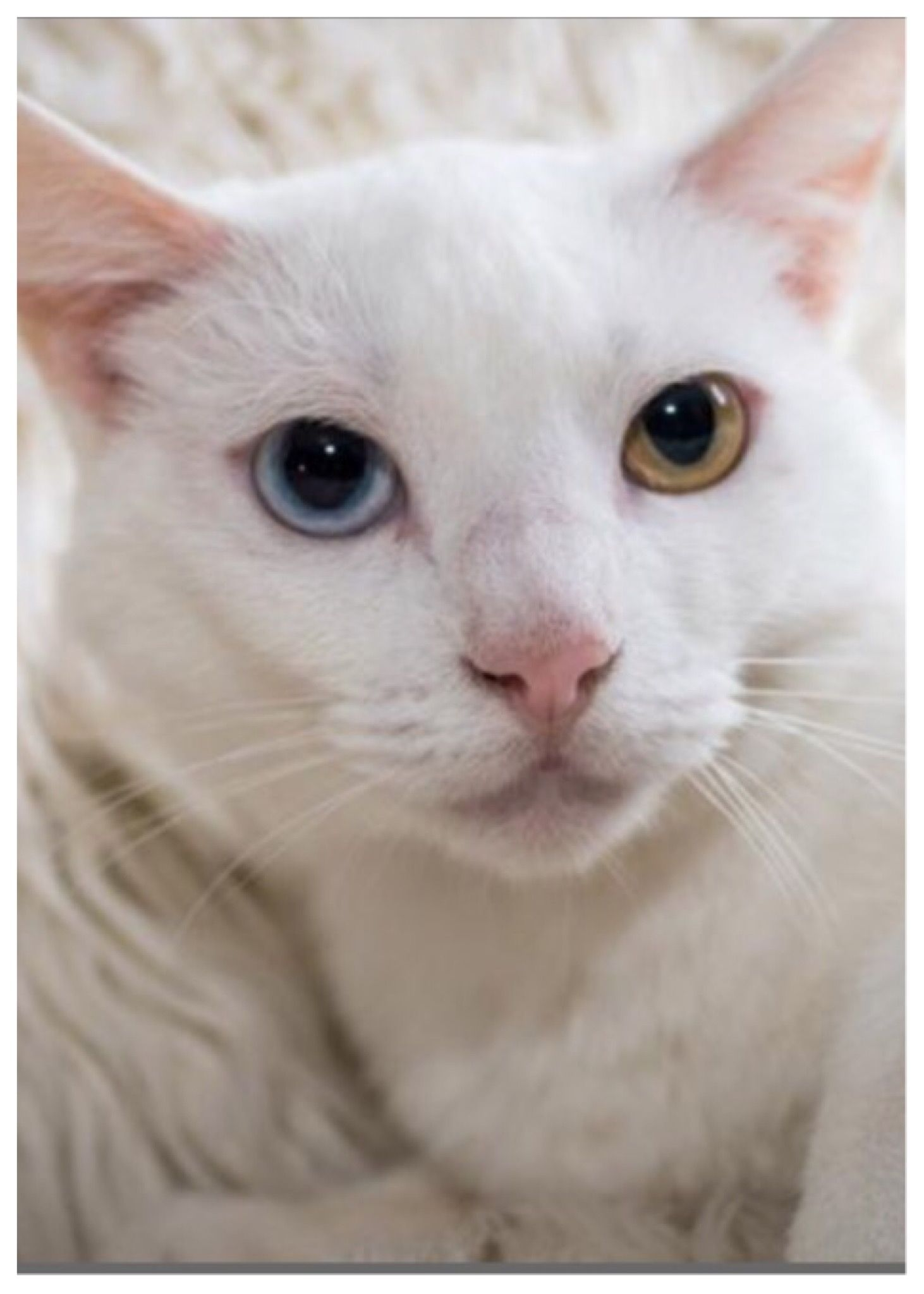 Hi My Name Is Stephanie And I M A Striking Looking Kitty With My Pure White Fur And Two Different Colore Cat Adoption Different Colored Eyes Cats And Kittens