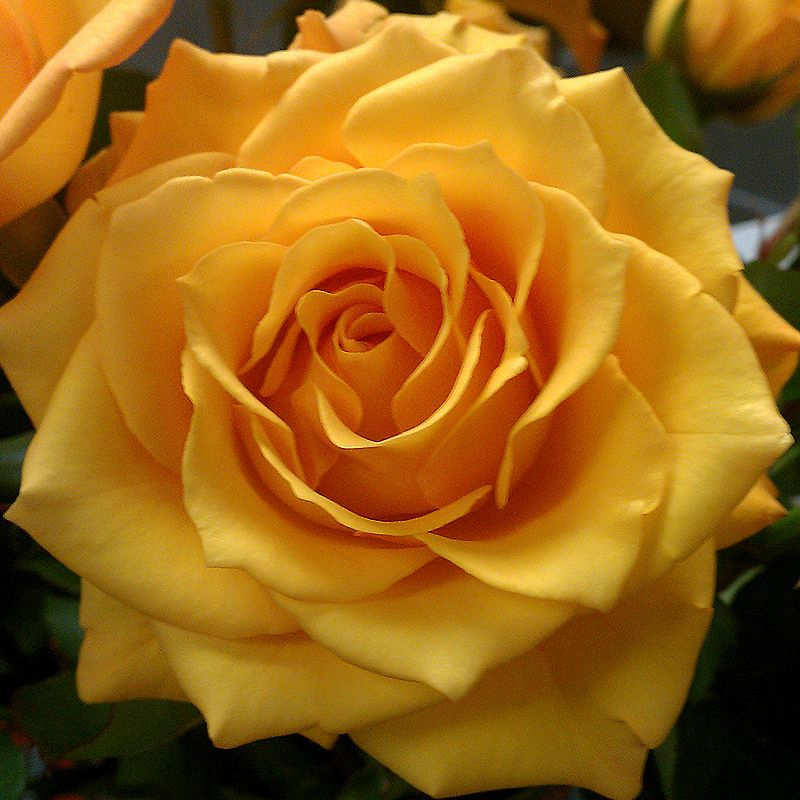 Creme Brulee Is A Rich Mustard Yellow Rose The Petals Are Pointed And Its Aperture Large