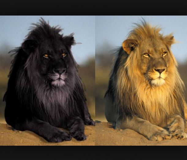 There Was An Image Of A Black Lion Circulating On The Net And Claimingnit To Be A Rare Black Lion It Is A Hoax Black Lion Melanistic Animals Melanistic Lion