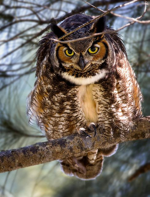 Great Horned Owl by hallograph(Jake Hall)