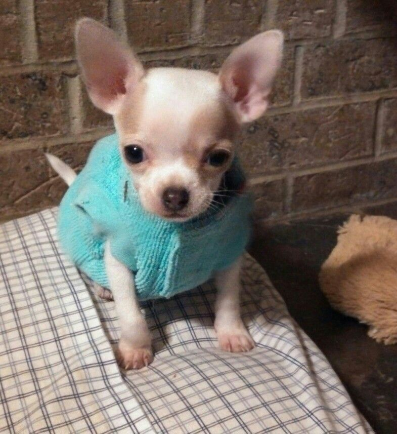 Love My Little Chi Ava Cute Animals Furry Friend Chihuahua Lover