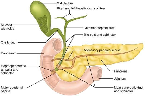 CH23 Pancreas | Gastrointestinal | Pinterest | Anatomía, Maquetas y ...