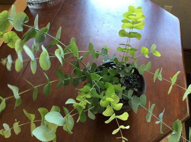 Eucalyptus Plant Indoor