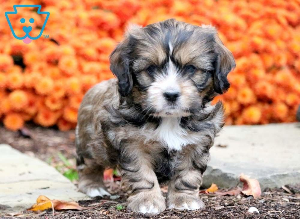 Chex with images puppies shih tzu