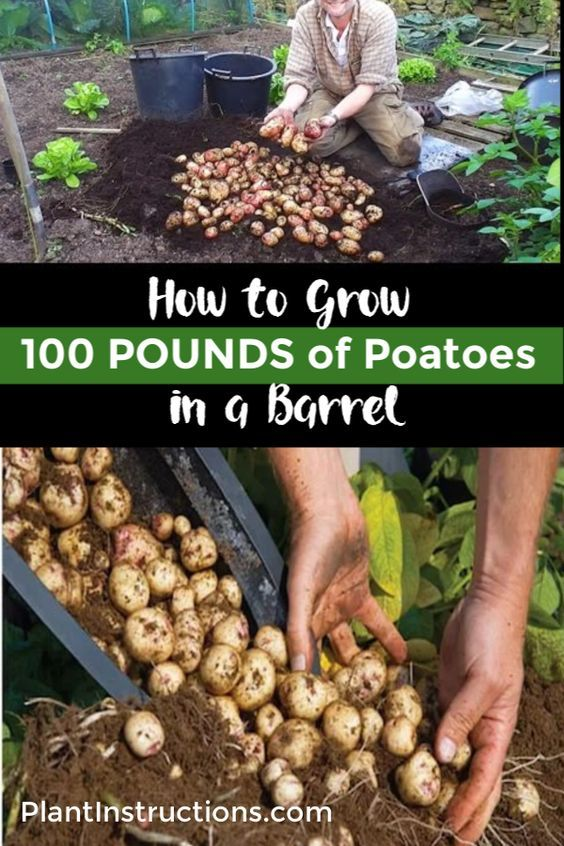 How to Grow a Hundred Pounds of Potatoes in a Pot is part of Food garden, Container gardening vegetables, Potato gardening, Veggie garden, Planting potatoes, Veg garden - Growing your own potatoes is actually one of the easiest things you can do, and is a great way for a beginner gardener to learn about growing vegetables! This guide will show you how to grow a hundred pounds of potatoes in a pot or barrel from start to finish! This 4step guide to growing 100 pounds of potatoes is so easy, that anyone can do it! And in no time, you'll have a healthy bountiful potato harvest! Grow a Hundred Pounds of Potatoes in a Pot Step 1 Select & Prepare Your Pot To do this, you'll need a