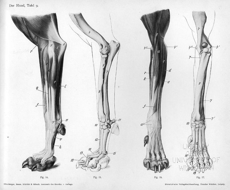Image Result For Cat Leg Anatomy Wiring Diagram