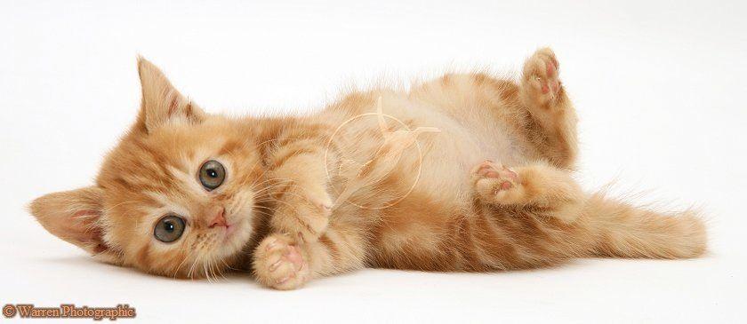 Red Tabby British Shorthair Kitten Http Www Warrenphotographic