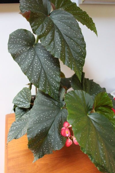 Cane Begonia In Bloom Begonia Plant Leaves Pepper Tree