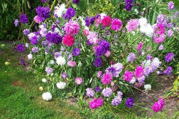 Aster these perennial flowers grow well in average soils for Typical landscaping plants