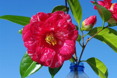 ROLY0549- Camélia Le Havre France 鲜花 花 꽃 동백 나무