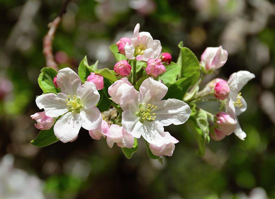 Apple Tree Got Apple Tree Blossoms Blooming Trees Beautiful Flowers