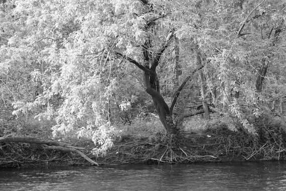 Beautiful b&w photo of a willow tree;