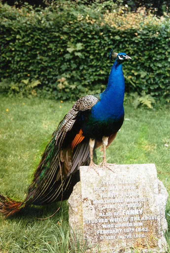 Peacock at Stourhead