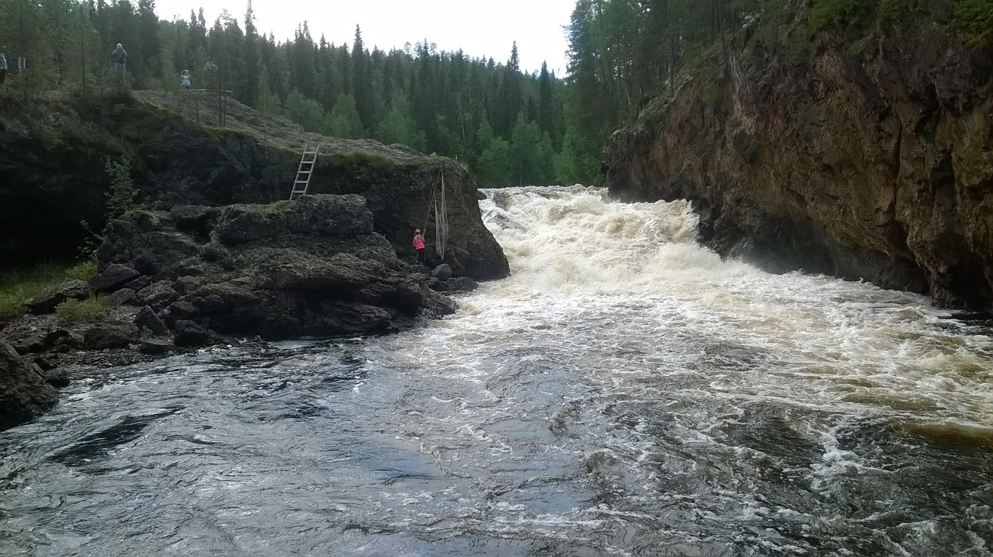 Taimenen ylisiirtoa Kiutakönkäällä. Järvikalatutkijat hommissa!