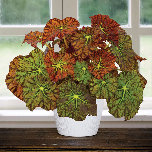 Begonia Amelia S Kaleidoscope Begonia Rhizomatous Hybrid For Sale Begonia Cool Plants Plants