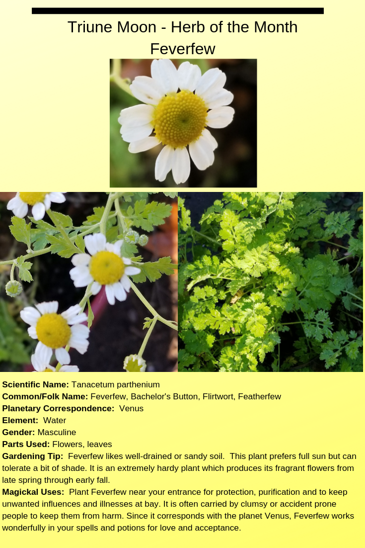 Feverfew Triune Moon Herb Of The Month Feverfew Herbal Magic Herbs