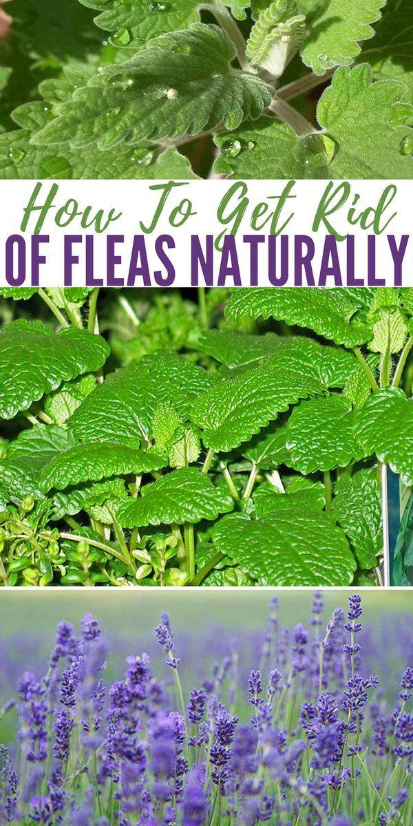 How To Get Rid Of Fleas Naturally | Fleas, Flea treatment ...