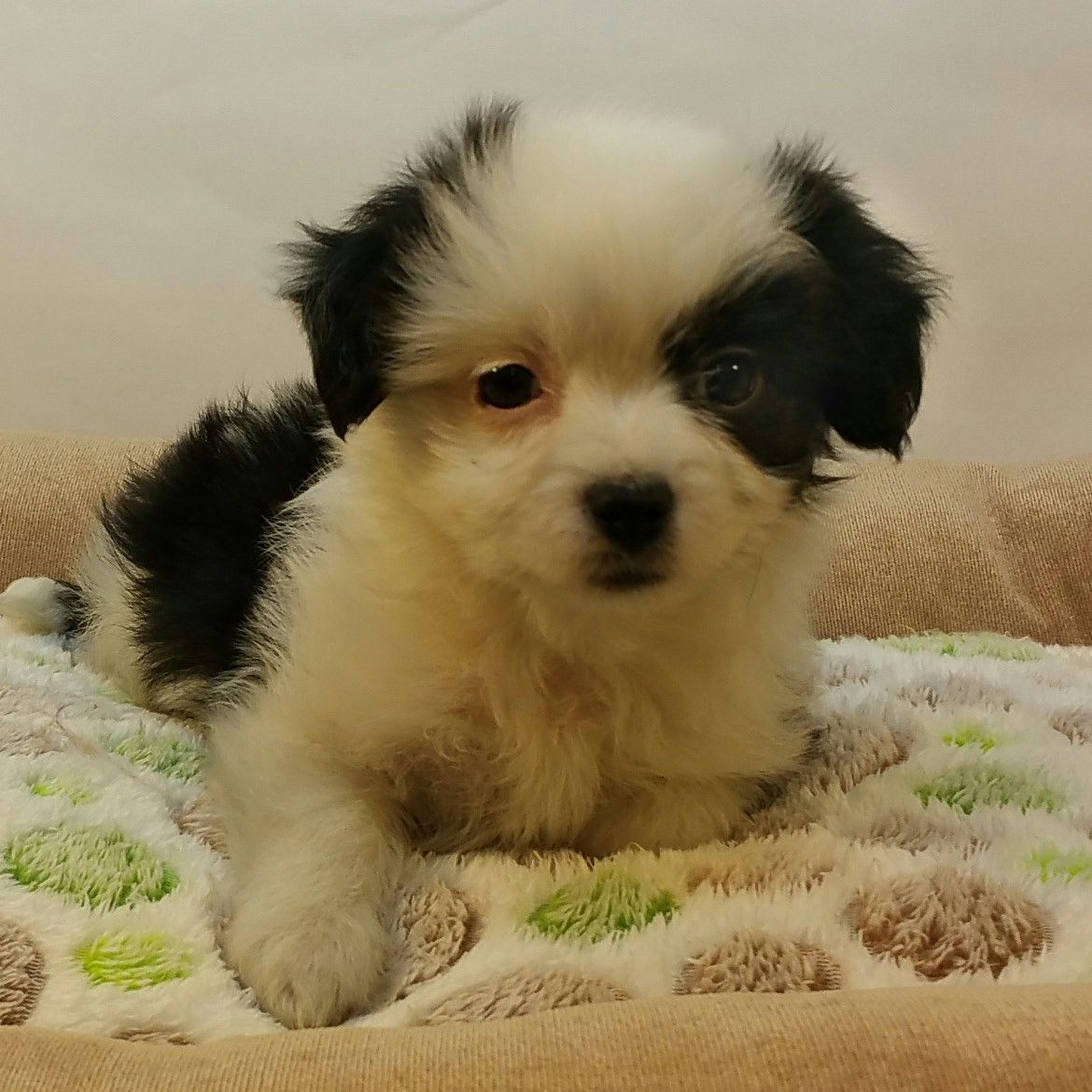 Northwest Seed & Pet has Female Chihuahua - Maltese Mixed