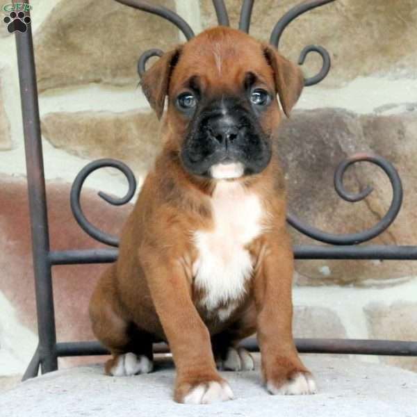 Axel Boxer Puppies for Sale in PA Keystone Puppies