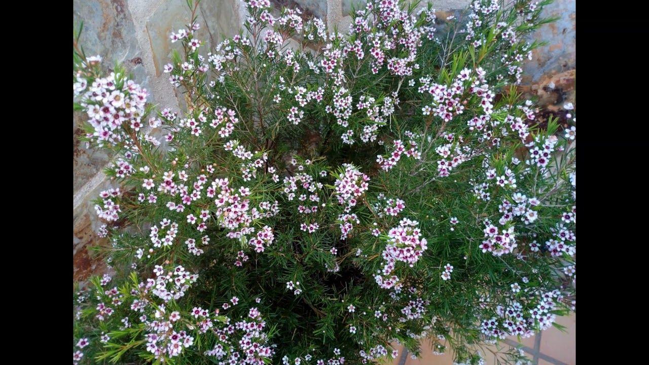 Chamelaucium Uncinatum Desf Flor De Cera Arbustos De Hoja Perenne Arbustos Hoja Perenne