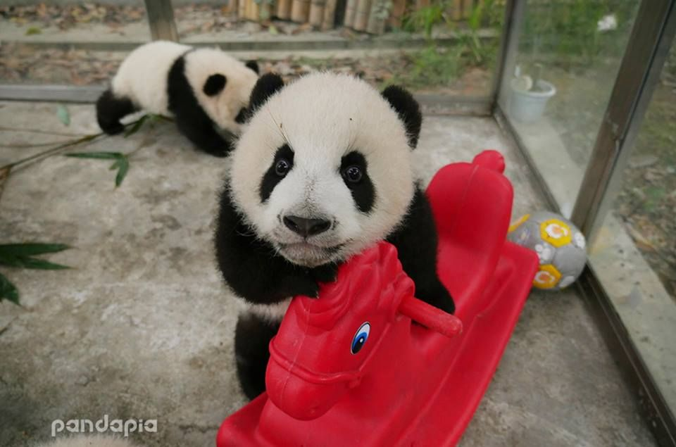 Dis My Rocking Horse You Can T Have It But You Can Ride It For Little While Panda Bear Cute Panda Panda Love