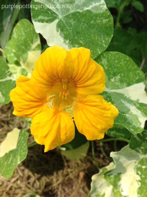 Nasturtium in gold, www.purplepottingshed.com