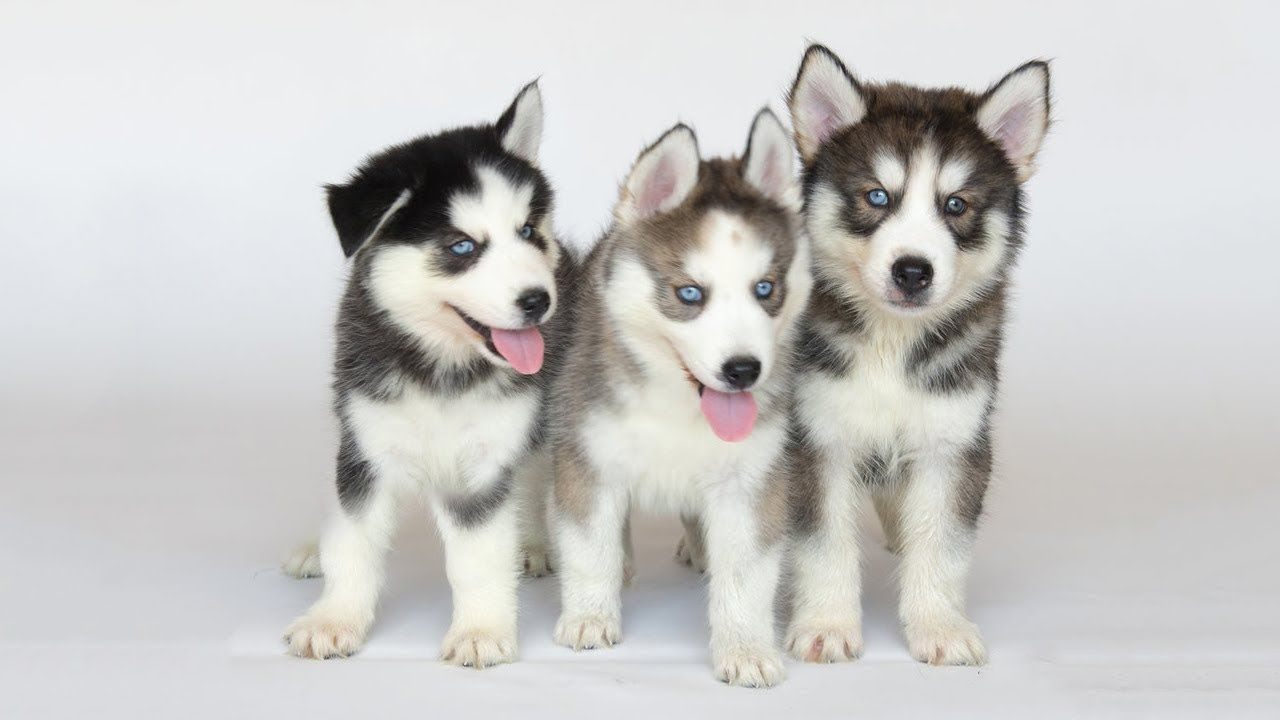 Funny Husky Puppies Talking To Each Other Very Interesting Dog