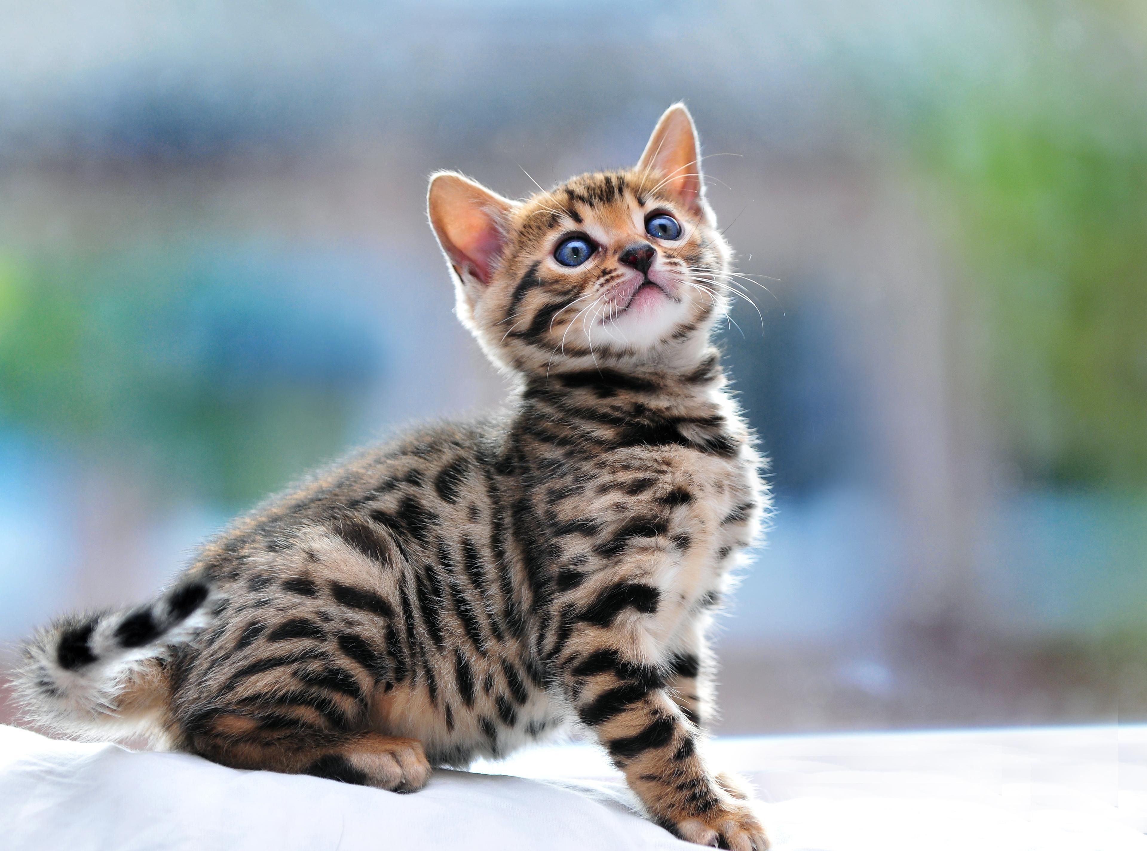 Cutest Bengal Kitten Ever Bengal Kitten Bengal Cat Kitten Bengal Cat