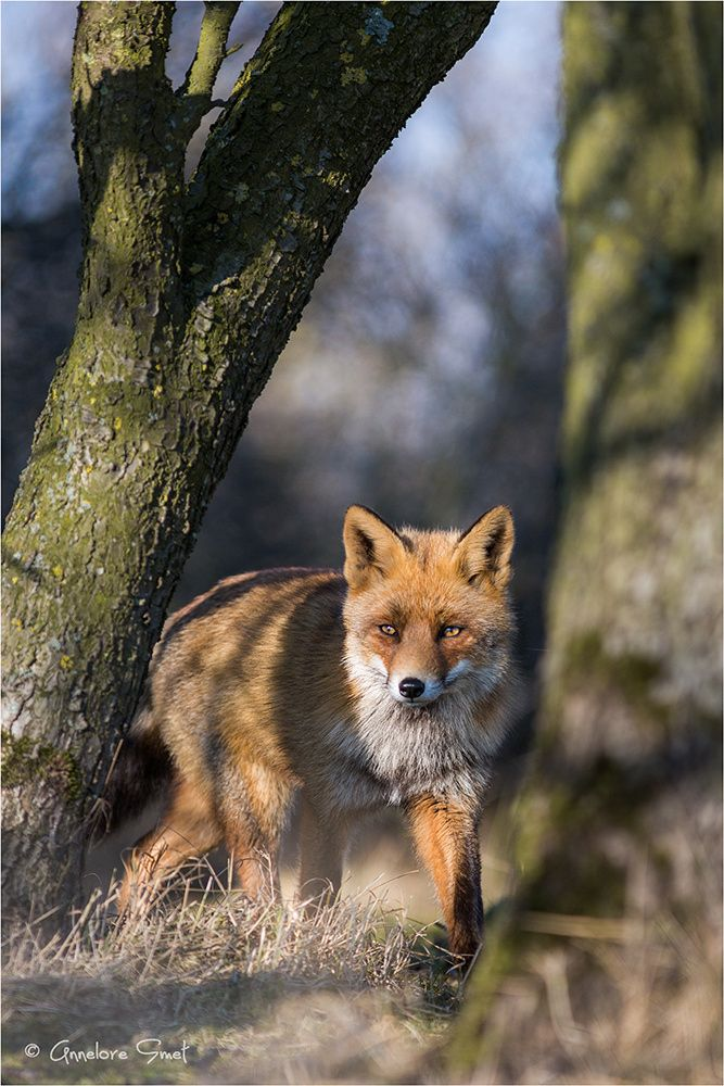 Red Fox by Annelore Smet on 500px