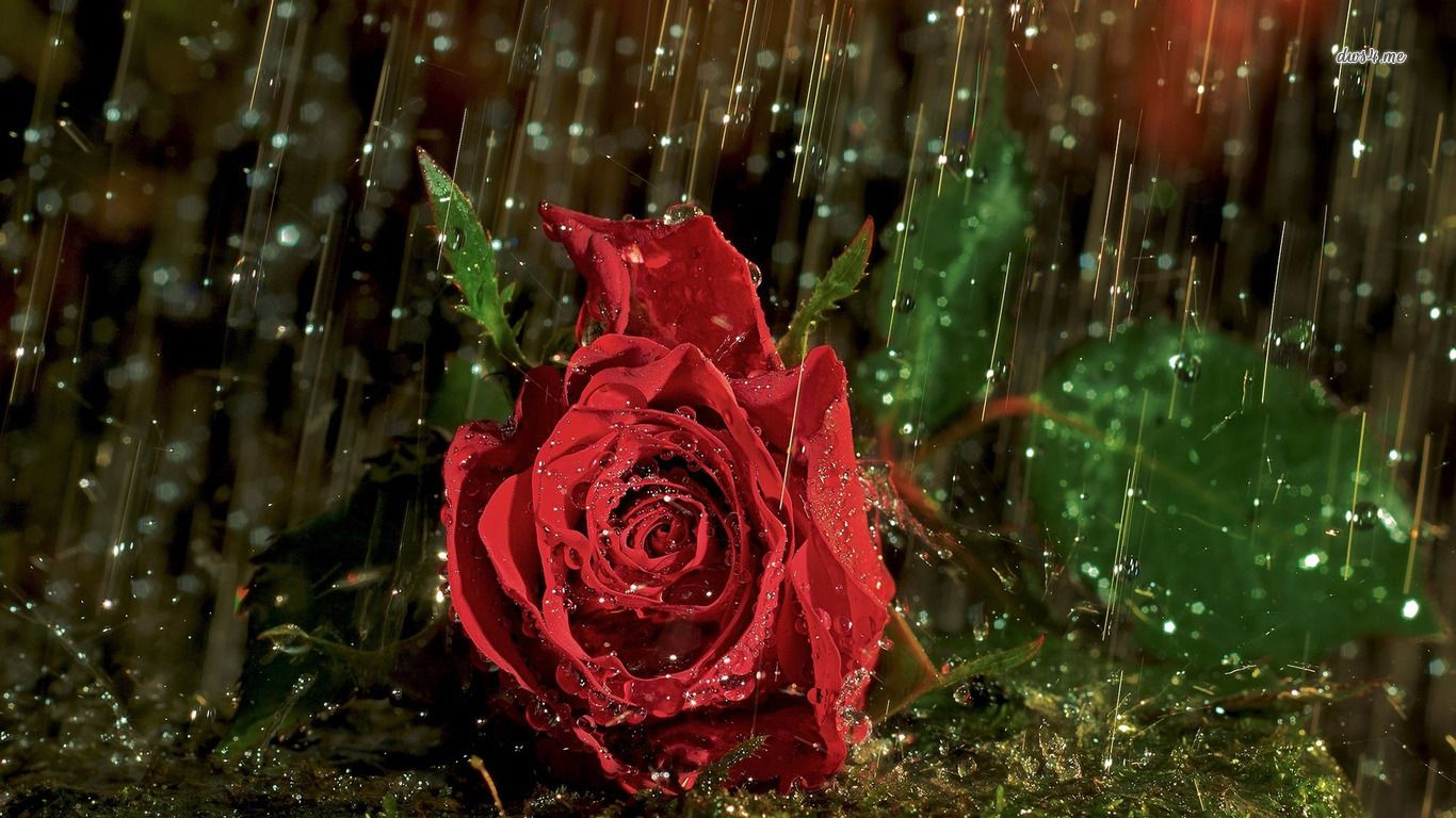 Rain drops like glittering jewels fall from the sky to adorn the red rose in the rain flower hd desktop wallpaper rose wallpaper rain wallpaper flowers no altavistaventures Image collections