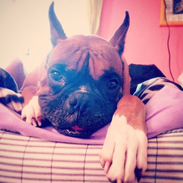 Rocky misses his mommy. @t.misk #Rocky #Boxer #boxersofinstagram #Boxers #Dog #dogs #Boxergram