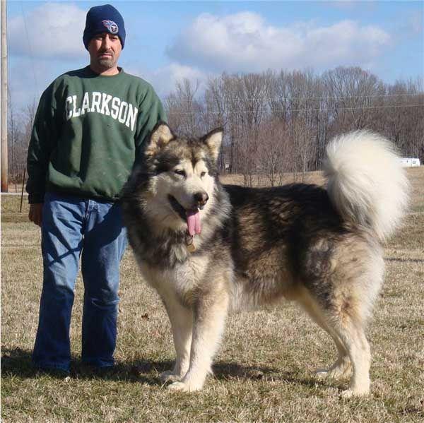 I really really like this dog! Giant Alaskan Malamute ...