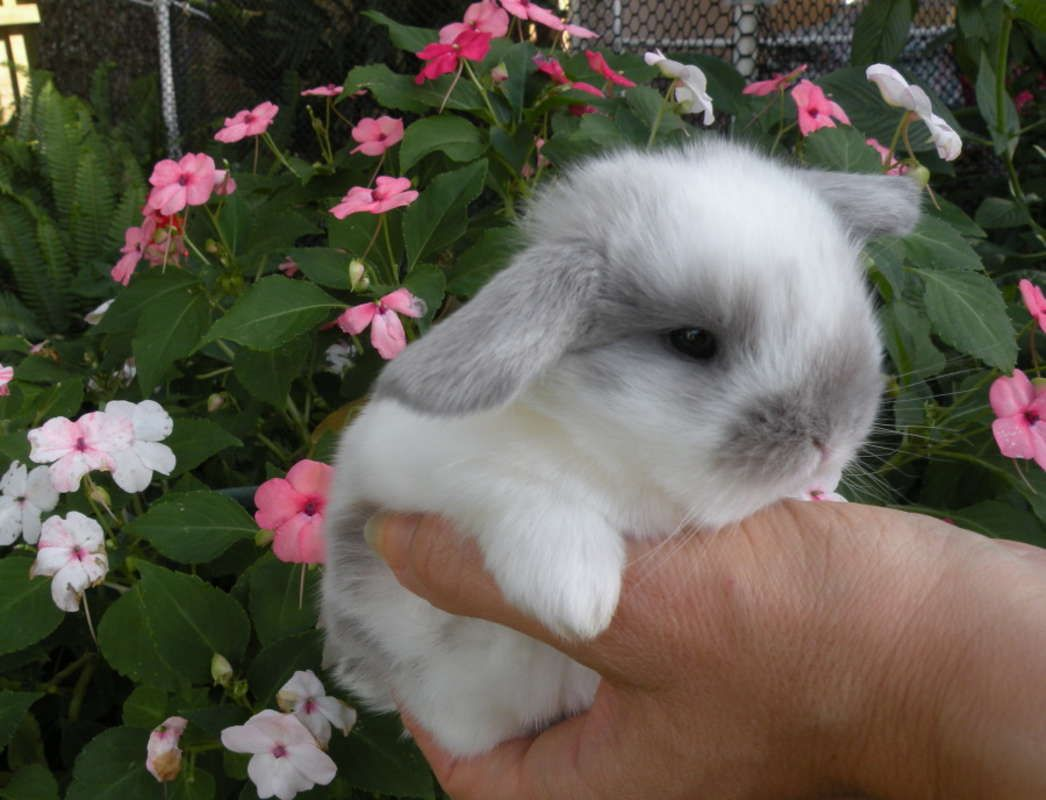 Holland Lop Dwarf Babies For Sale In Tampa Florida