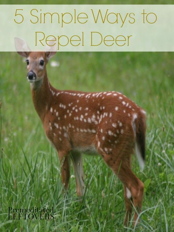 5 Natural Ways To Repel Deer Here Are 5 Natural Ways To
