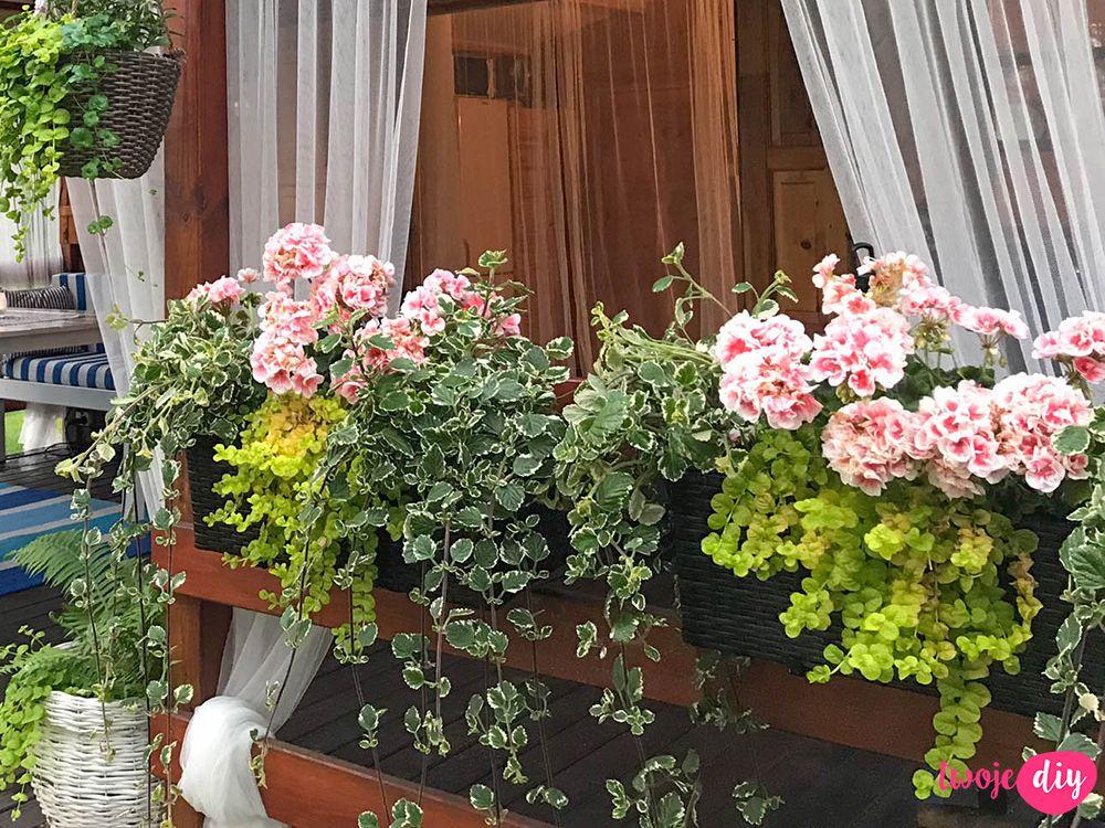 Pelargonia Na Balkonie To Krolowa Wsrod Kwiatow Latwa W Uprawie I Pieknie Wygladajaca Roslina O Przepieknych Kwiatach Poznaj Jej U Plants Herb Garden Garden