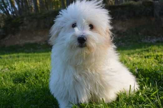 Non Shedding Dog Breeds Which Breeds Shed Least Hair Rare