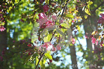 Blooming decorative apple tree bright pink flowers in sunny spring blooming decorative apple tree bright pink flowers in sunny spring day mightylinksfo