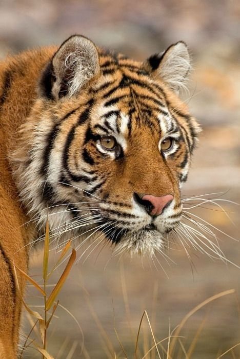 Beautiful Pictures Tiger Pictures Animals Beautiful Big Cats