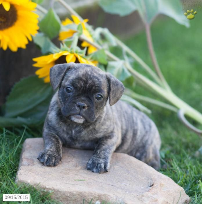 Frug French Bulldog Pug Puppy For Sale In Pennsylvania French