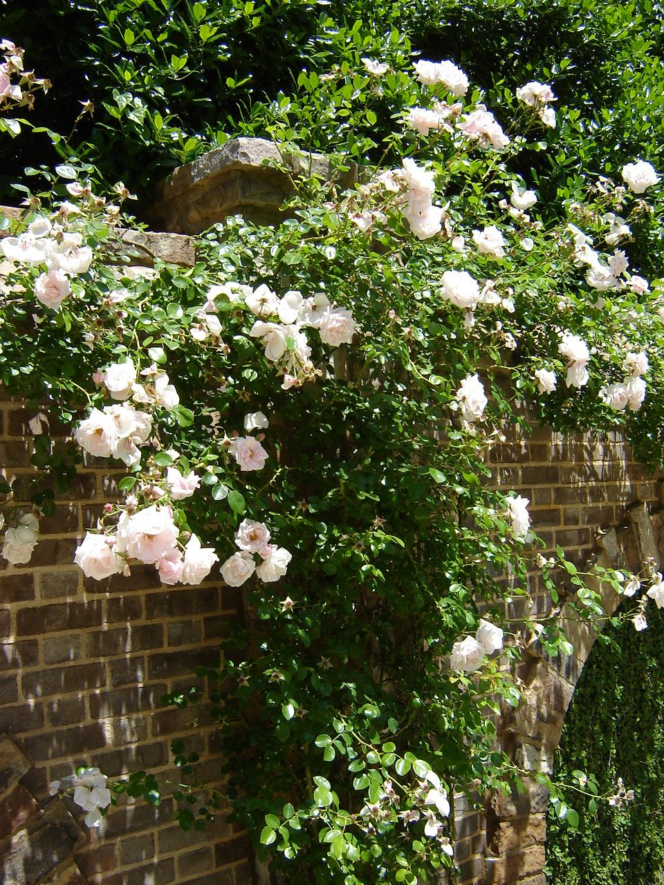 New Dawn Climbing Rose New dawn climbing rose, Climbing