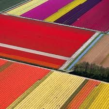 tulip fields from the air