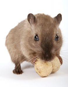 Gerbils Info About Pets Mice Repellent Getting Rid Of Mice Gerbil