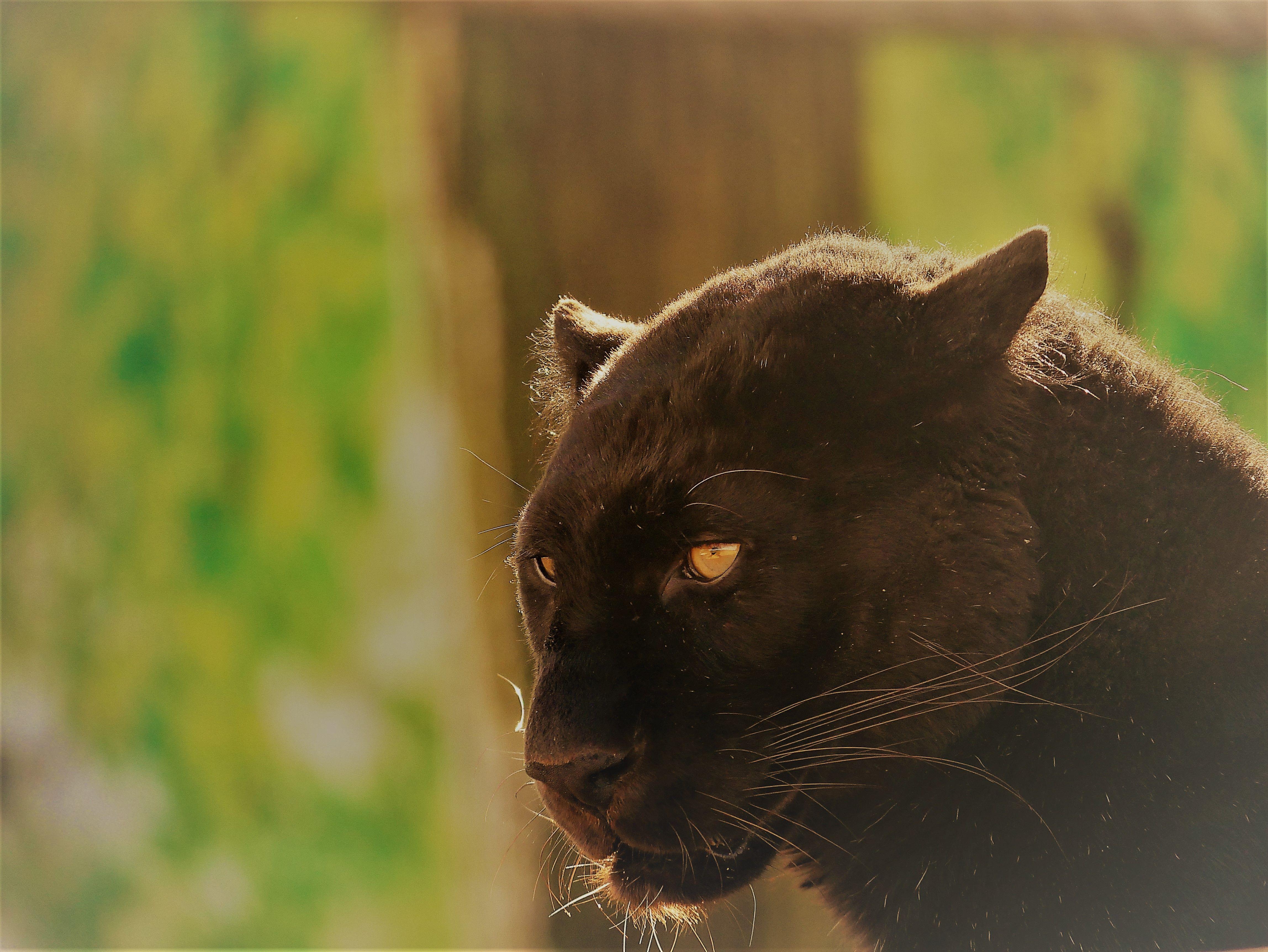 melanistic leopard black panther at lincolnshire wildlife park black panther cat wildlife. Black Bedroom Furniture Sets. Home Design Ideas