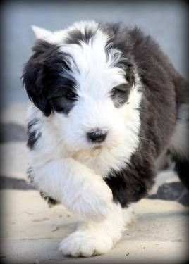 Old English Sheepdog Pictures Free Sheepadoodle Puppies Old