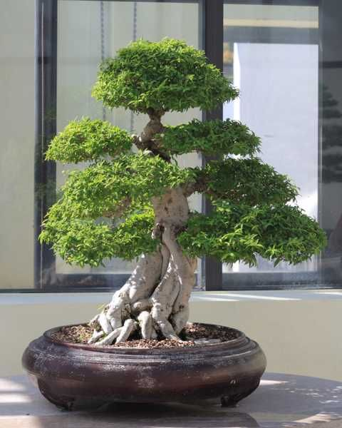 Growing Miniature Tree For Home Decorating Flowering Bonsai Tree Bonsai Tree Indoor Bonsai