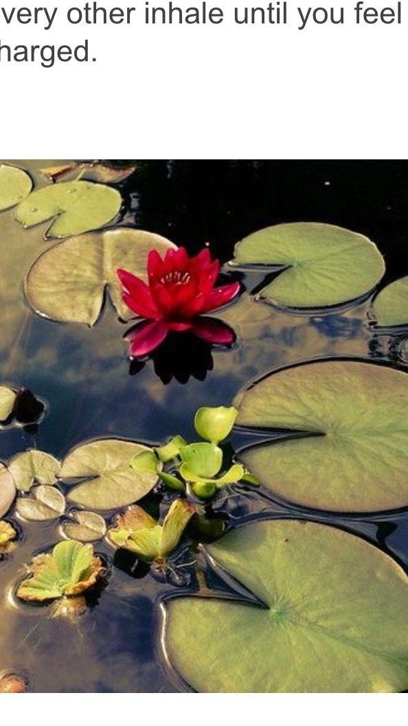 Lily Pads Lotus Flower Lotus Flowers Lily Pads Lotus Flower