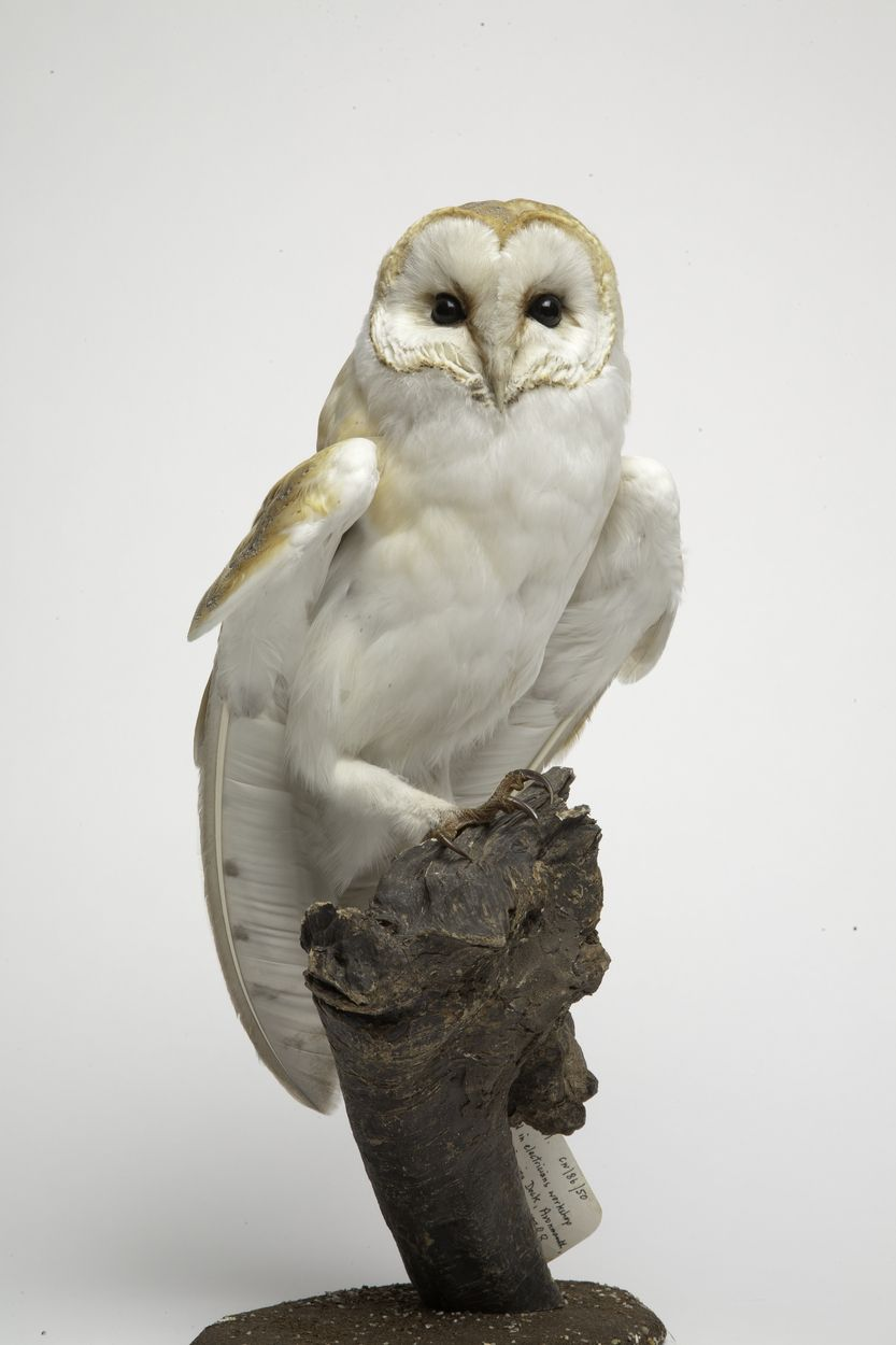 Barn Owl. There are many superstitions about owls. Some ...