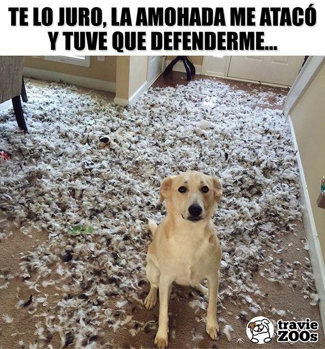 Lo Importante Es Que Firulais No Salio Herido Dog Perro Almohada Travesura Pillow Memes Perros Memes De Perros Chistosos Mascotas Memes