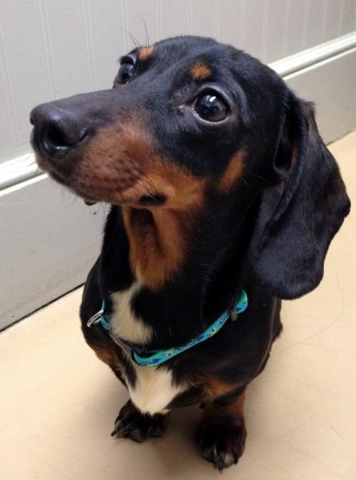Meet Ruby An Adoptable Pet Dog Dachshund Rescue Pet Dogs