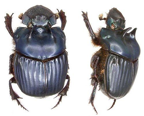 Phanaeus haroldi Kirsch, 1871 female   por urjsa